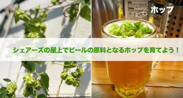 シェアーズの屋上でビールの原料となるホップを育てよう!最後はホップを収穫してビールで乾杯!